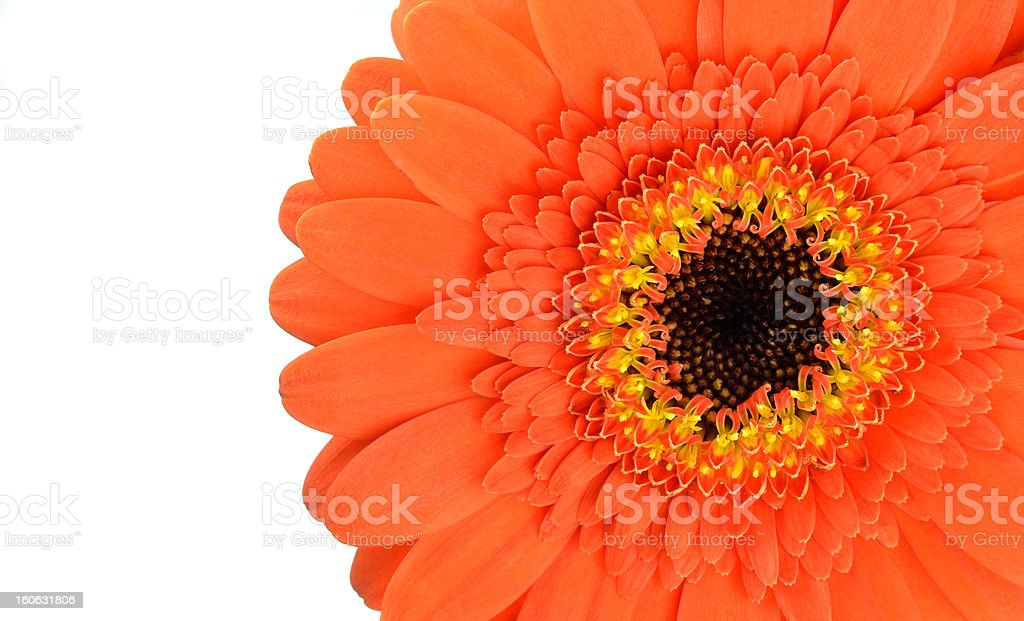 Orange Gerbera Flower Part Isolated on White royalty-free stock photo