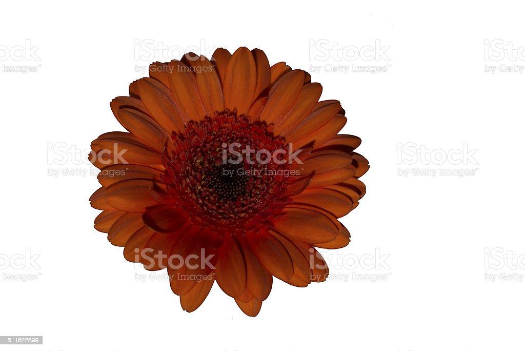 Orange Gerbera flower royalty-free stock photo