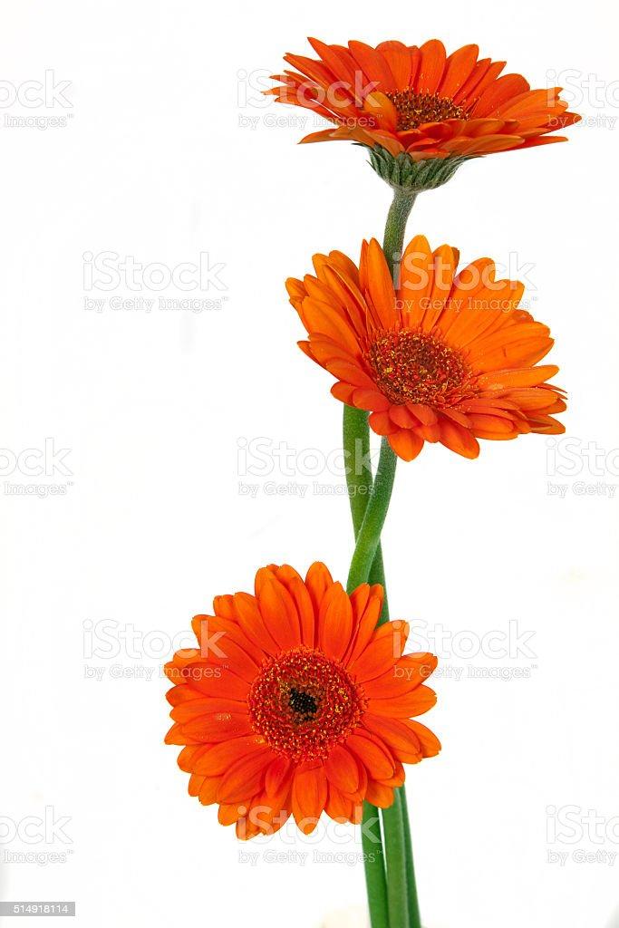 orange gerbera flower stock photo