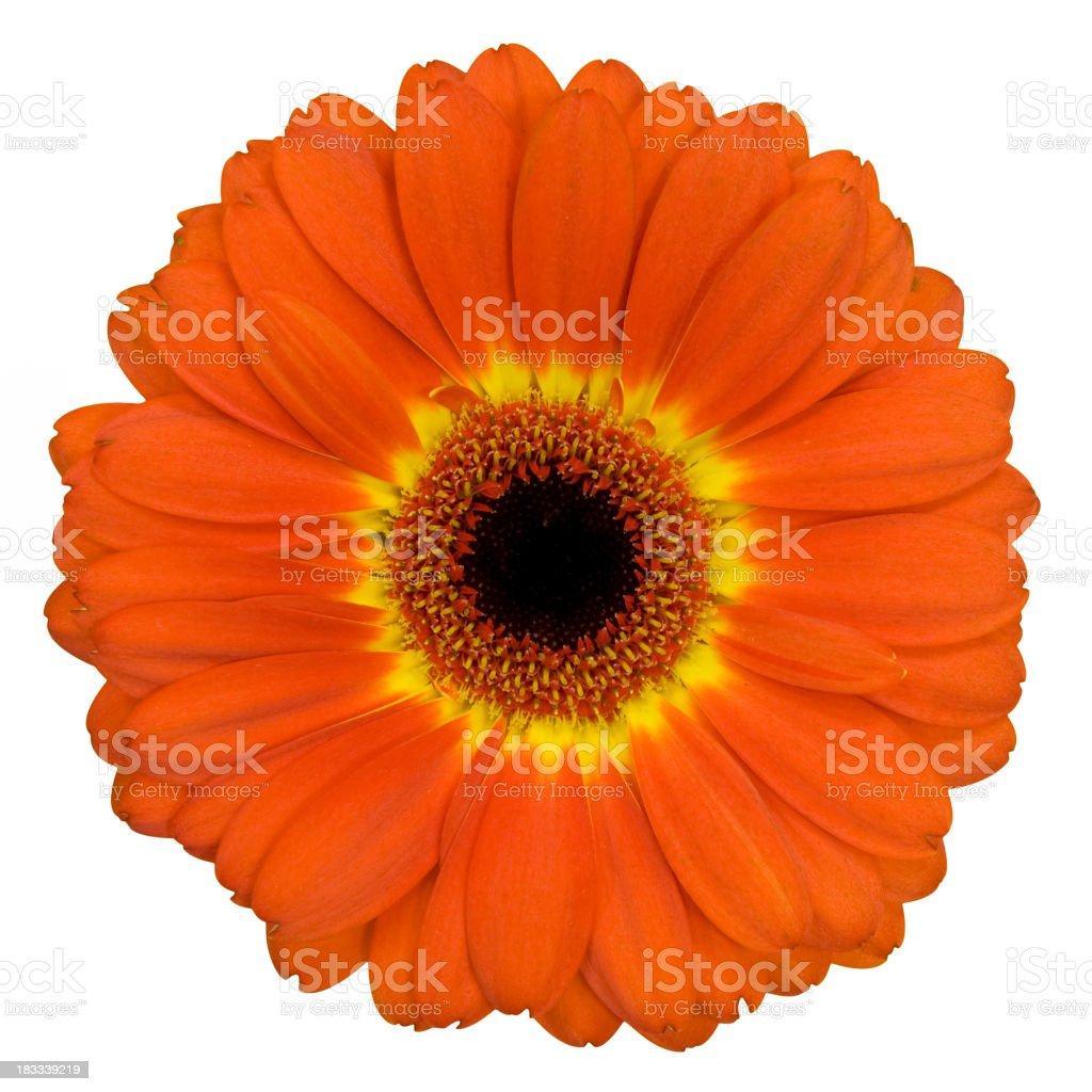 Orange Gerbera flower with yellow ring around the pistil stock photo