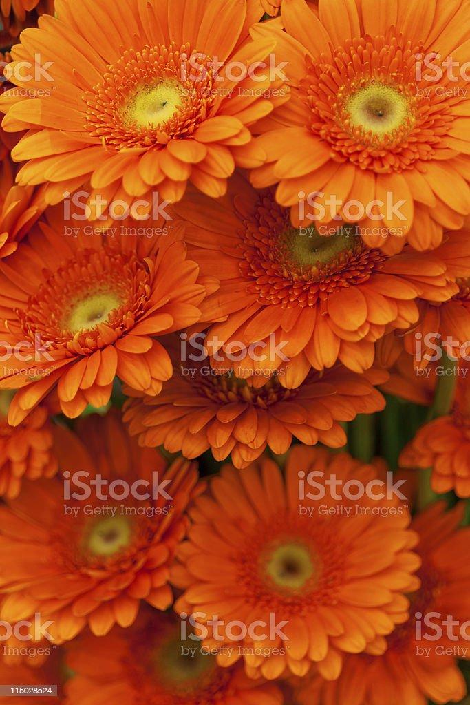 Orange gerbera flowers royalty-free stock photo