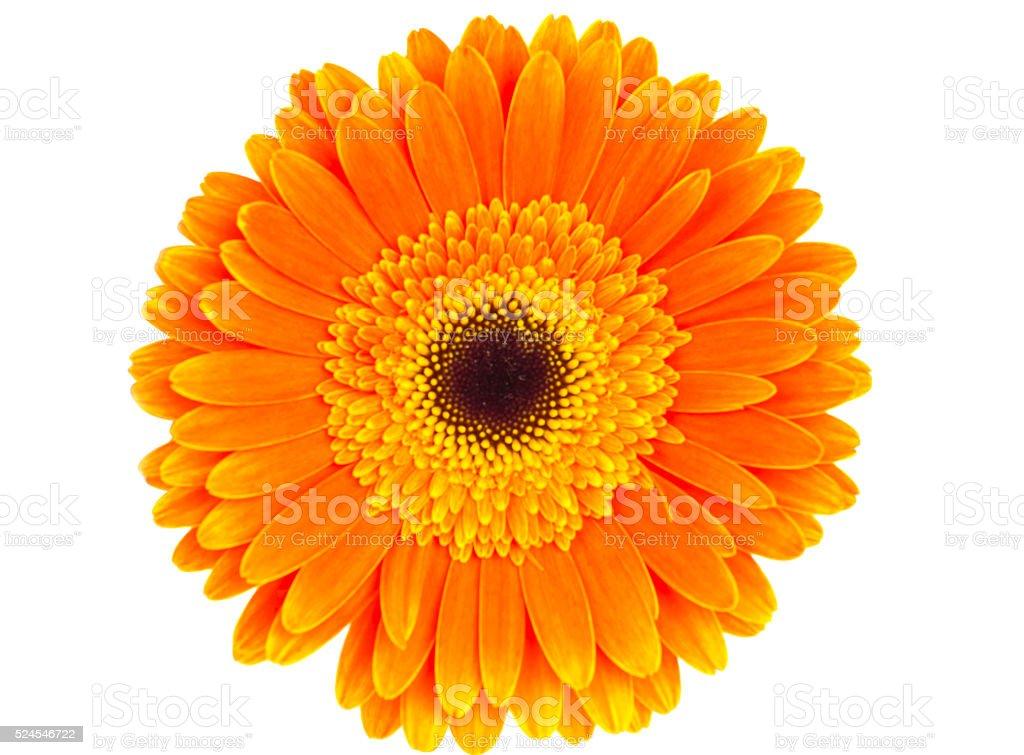 orange gerbera isolated stock photo
