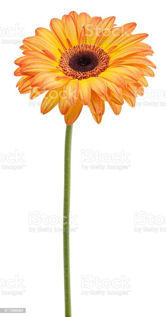 Orange Gerbera auf einer Stange Lizenzfreies stock-foto