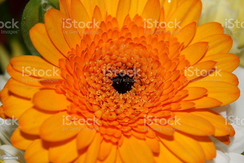 orange gerbera Lizenzfreies stock-foto