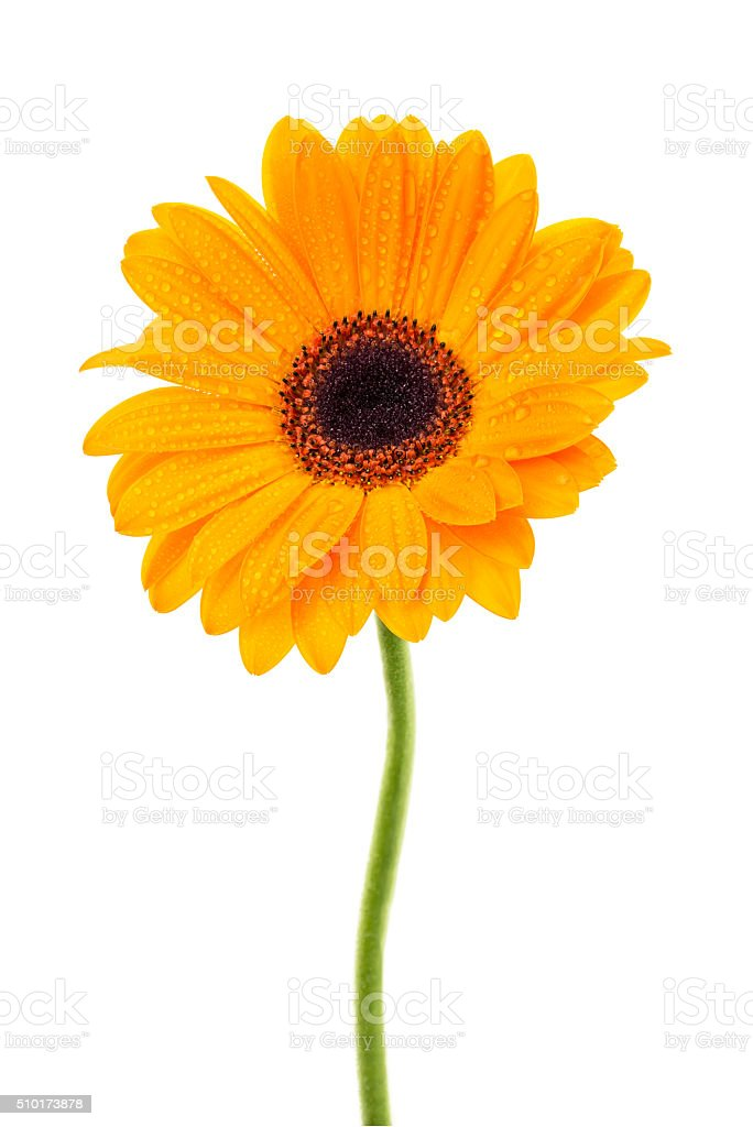 Orange gerbera royalty-free stock photo