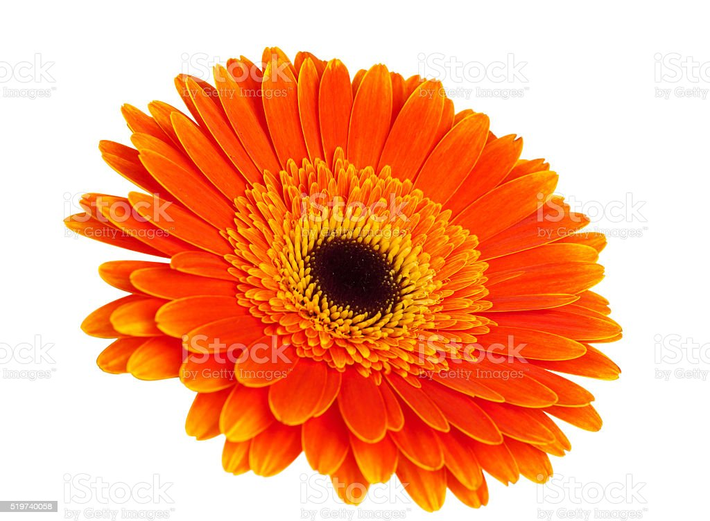 Orange gerbera stock photo