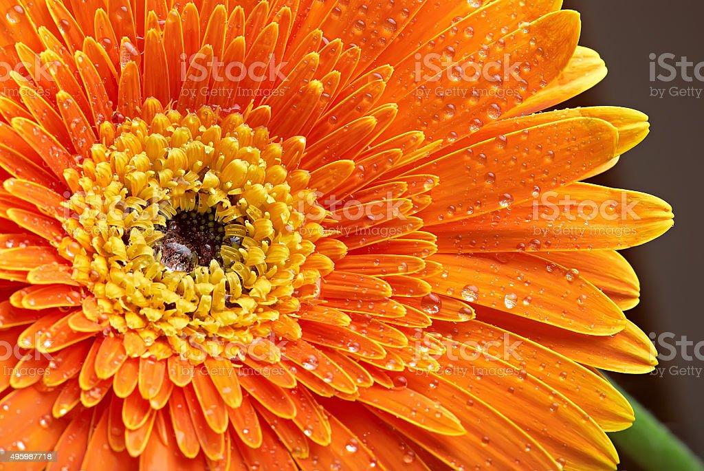 Orange gerbera with dew stock photo