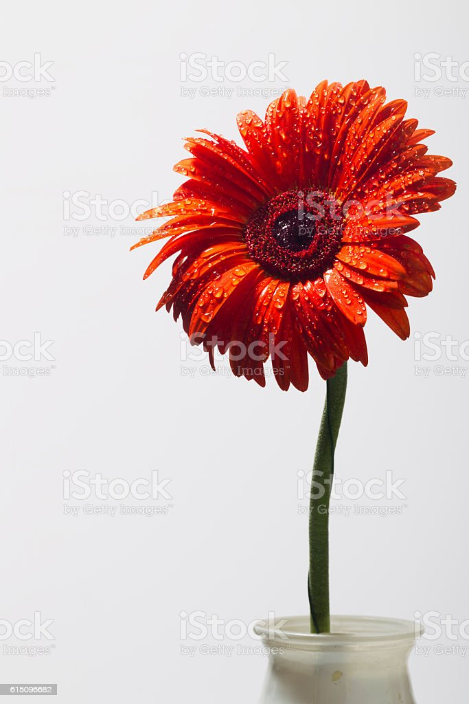 Orange gerbera with water drops on a white background stock photo