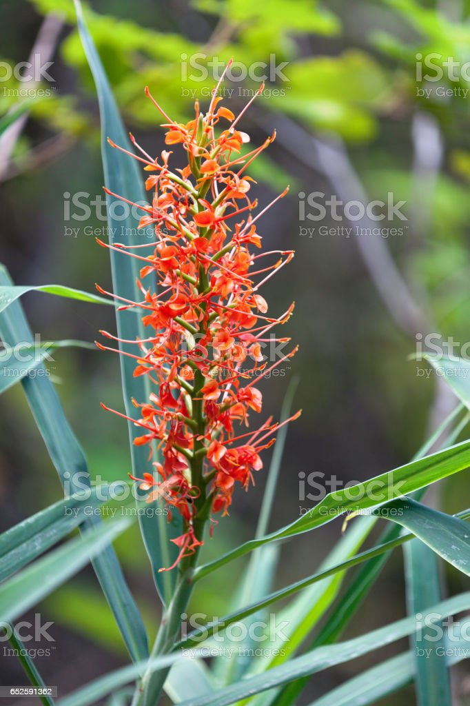 Orange gingerlily (Hedychium coccineum) stock photo