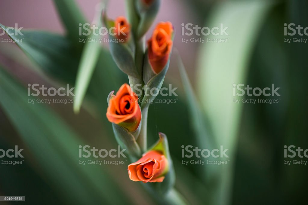 CU Orange Gladiola buds royalty-free stock photo