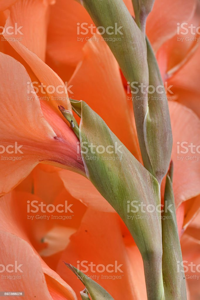 Orange gladiolus garden flower Lucifer the Devil's Fire stock photo
