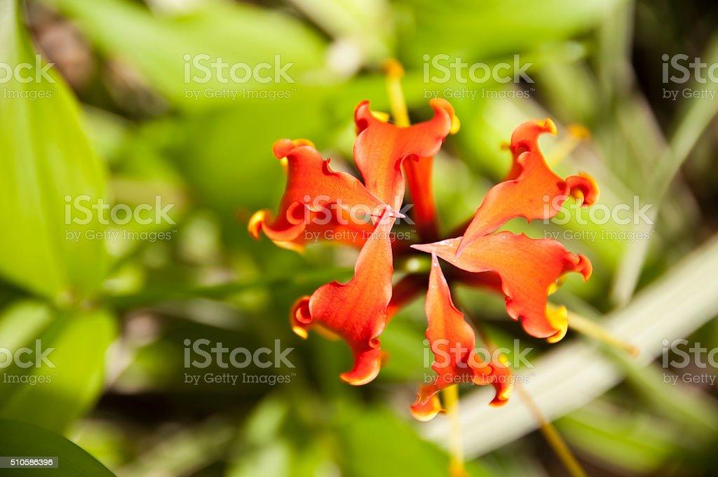 Orange Glory lily close up (gloriosa superba) in a garden stock photo