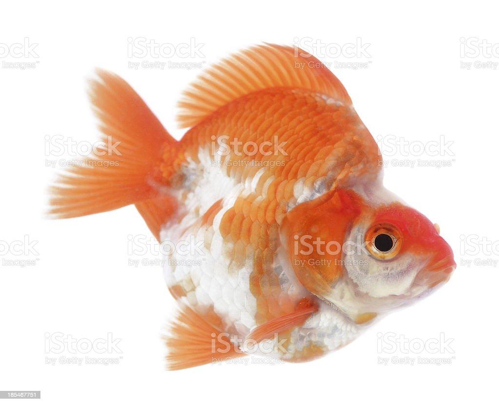 Orange goldfish Isolation on the white royalty-free stock photo