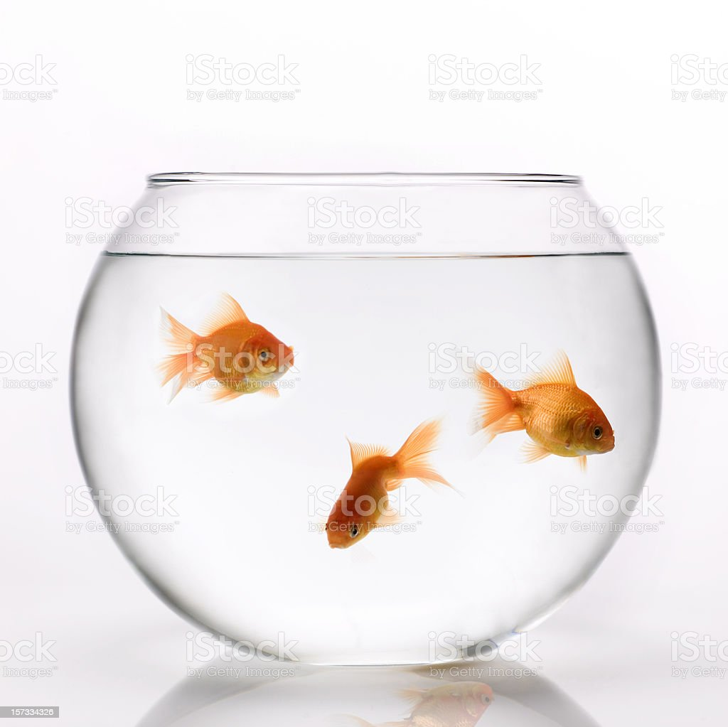 3 orange goldfish swimming in a glass bowl stock photo