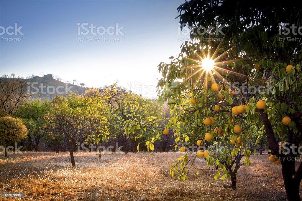 Orange Grove stock photo