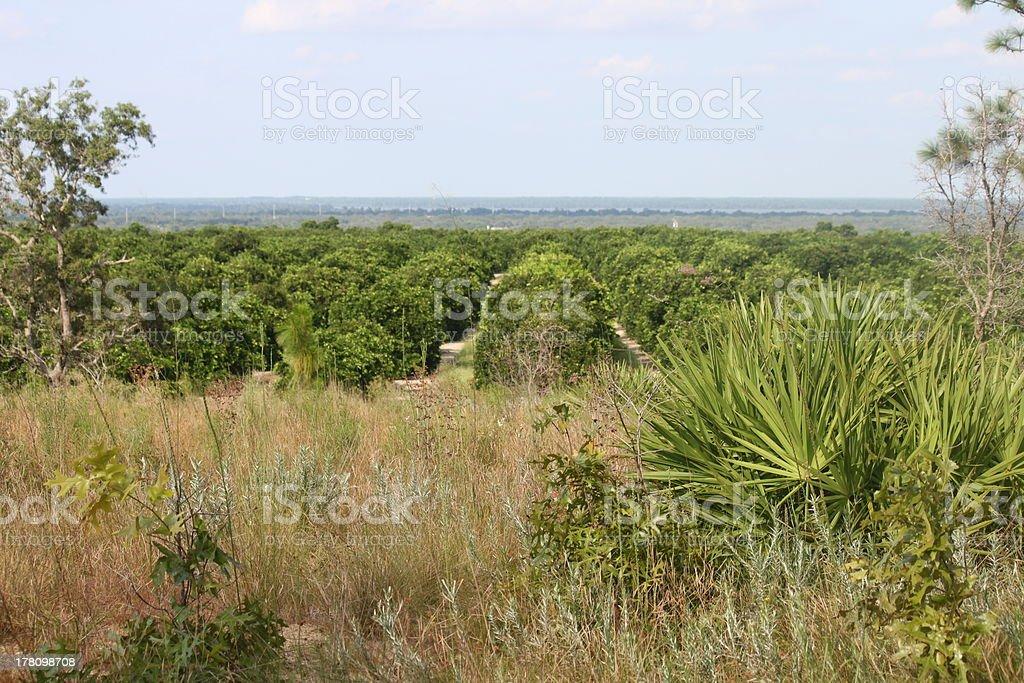 Orange Grove through the Plants royalty-free stock photo
