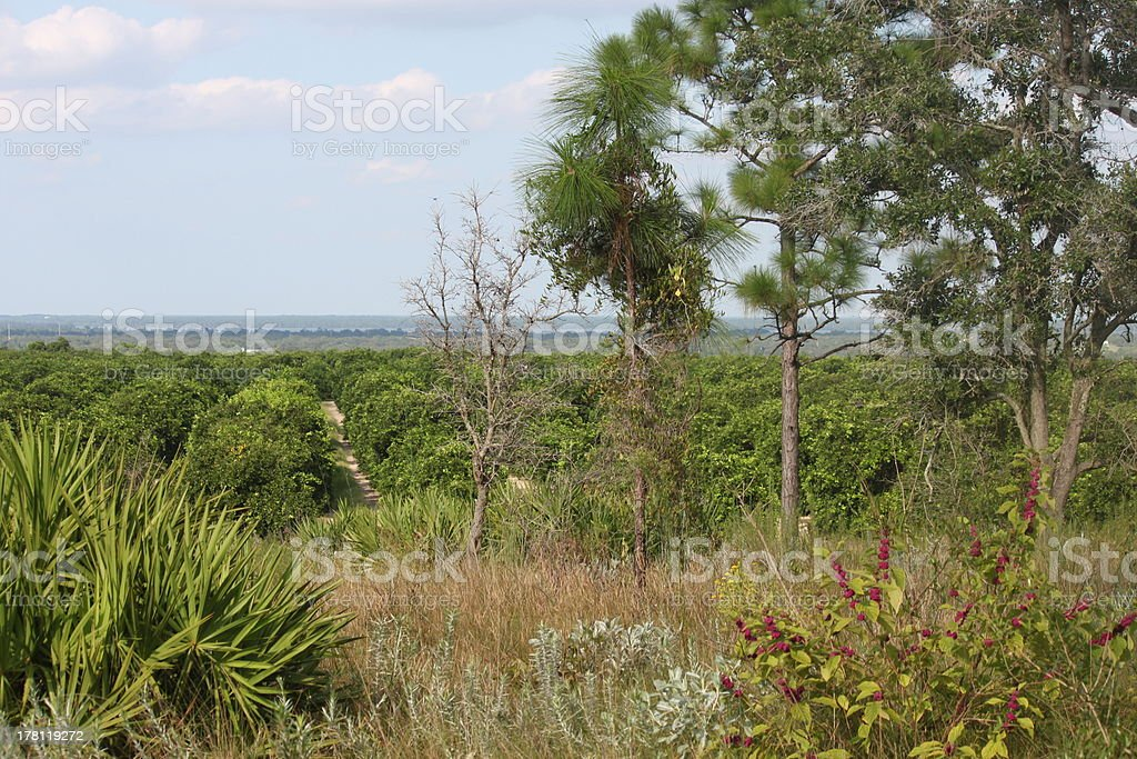 Orange Grove through the Trees royalty-free stock photo