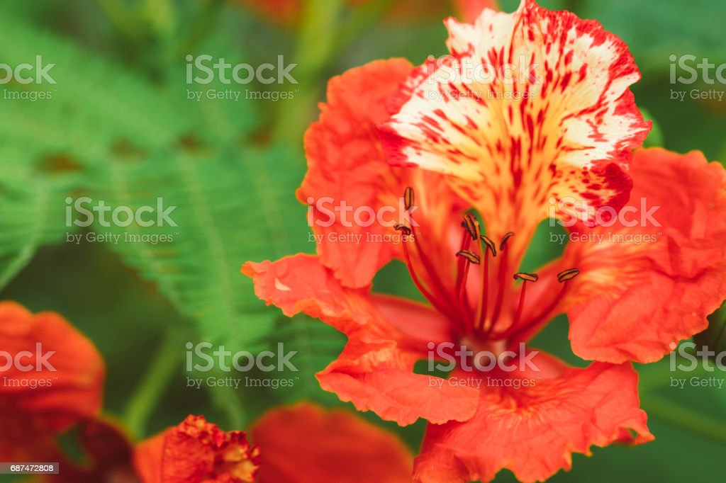 Orange Guppy flowers stock photo