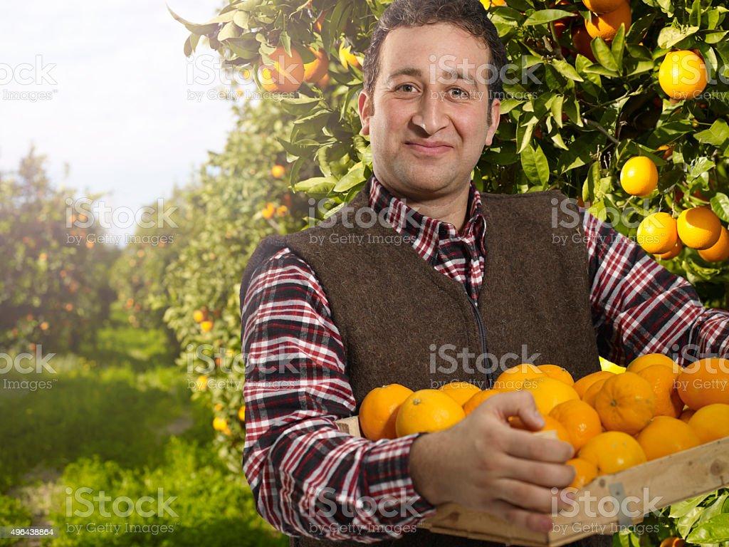 orange harvesting stock photo