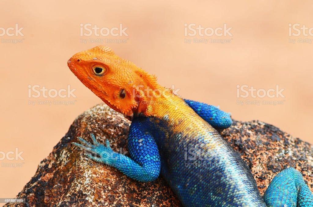 Orange Headed Rock Agama stock photo