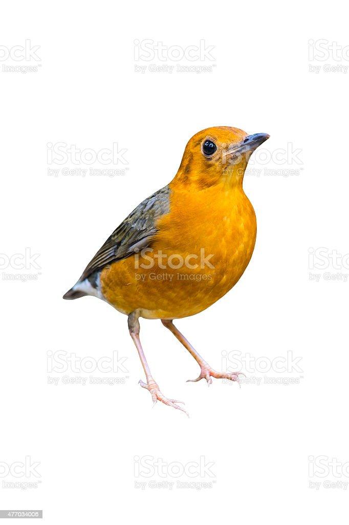 Orange Headed Trush, Bird royalty-free stock photo