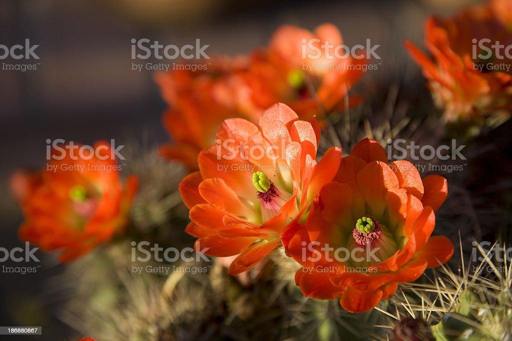 Orange Hedgehog Cactus Flowers stock photo
