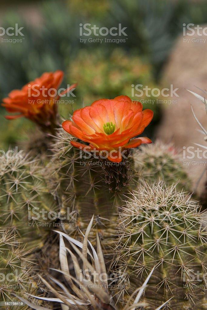 Orange Hedgehog Cactus in bloom stock photo