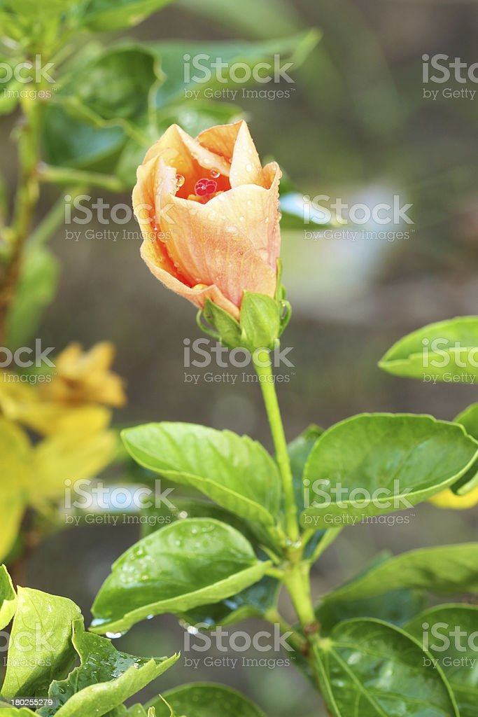 orange hibiscus flower royalty-free stock photo