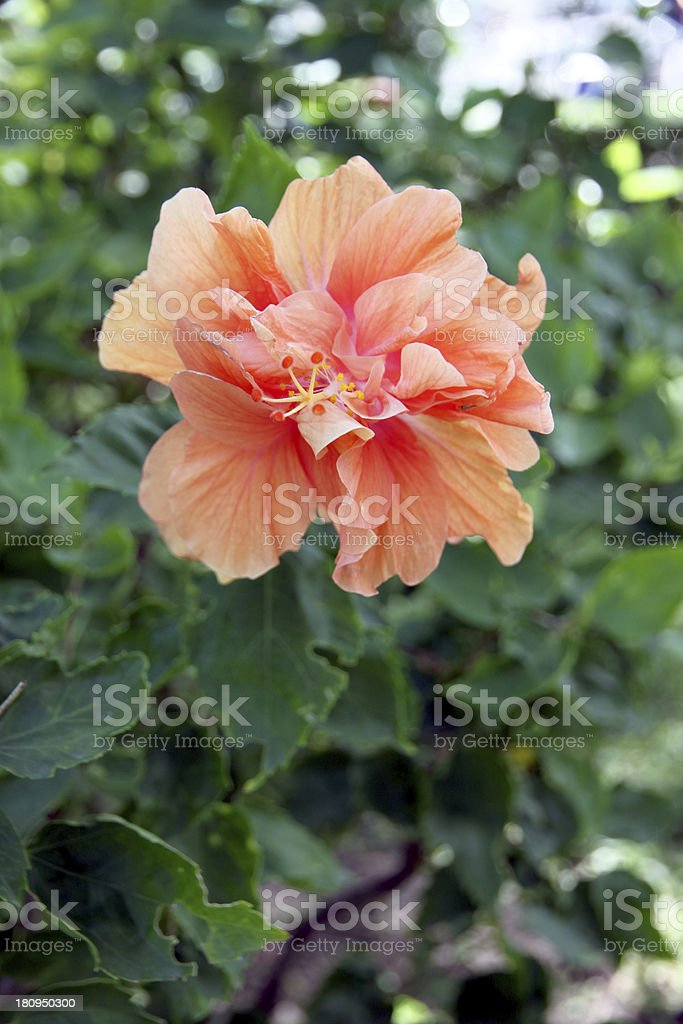 Orange Hibiscus flowers in the backyard. royalty-free stock photo
