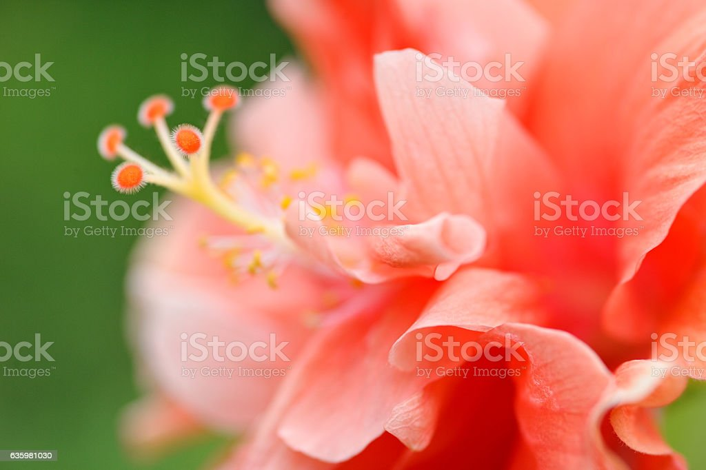 orange Hibiscus stock photo