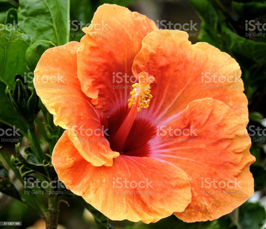 Orange Hibscus flower stock photo