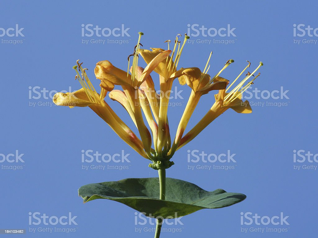 Orange honeysuckle flower head side view against clear blue sky royalty-free stock photo