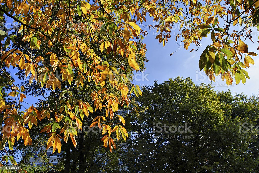 Orange horse chestnut leaves in autumn stock photo