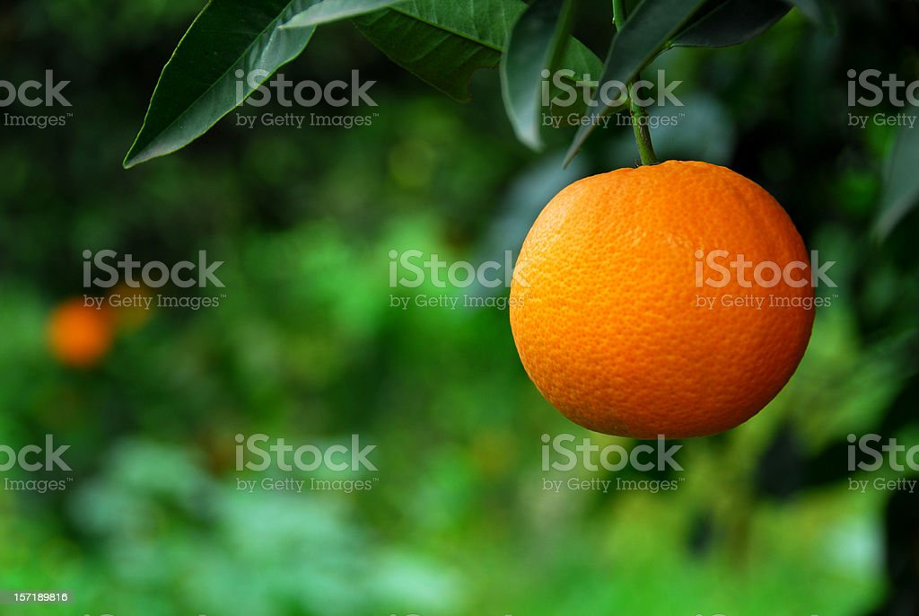 Orange in Orchard (Close up) stock photo