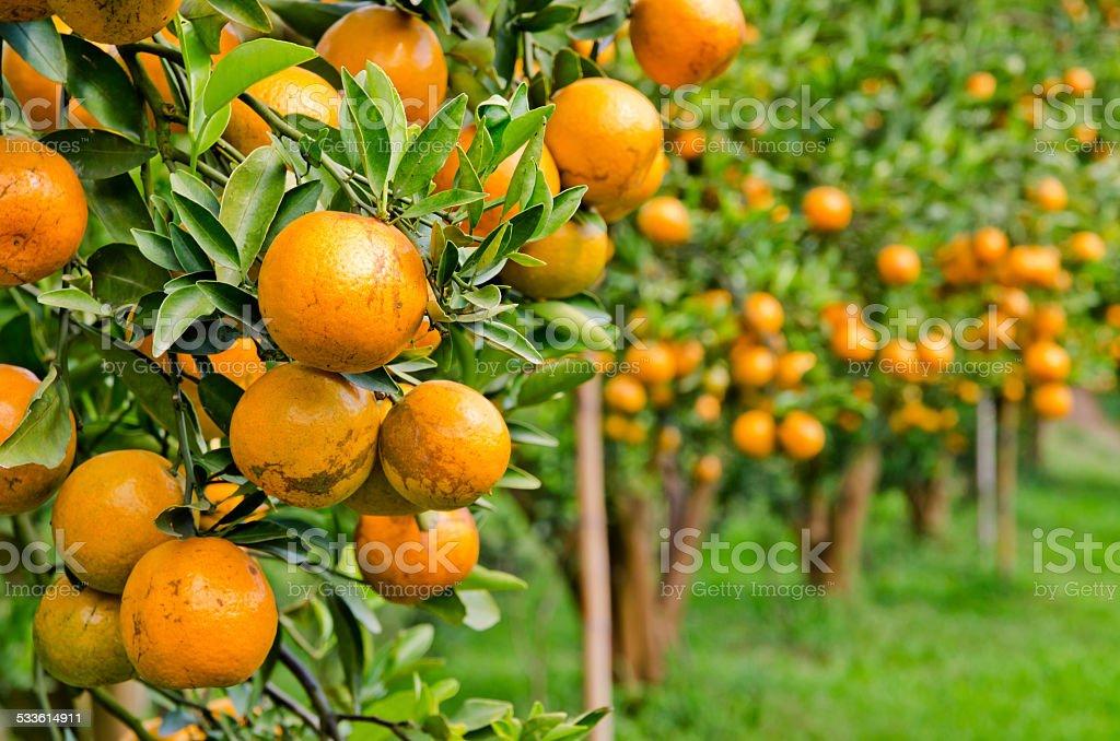 Orange in the Orange tree. stock photo