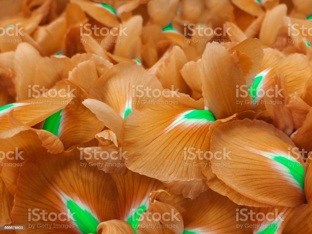 orange iris flowers. Garden flowers.  Closeup.  Nature. For designers, for background.'n 'n stock photo