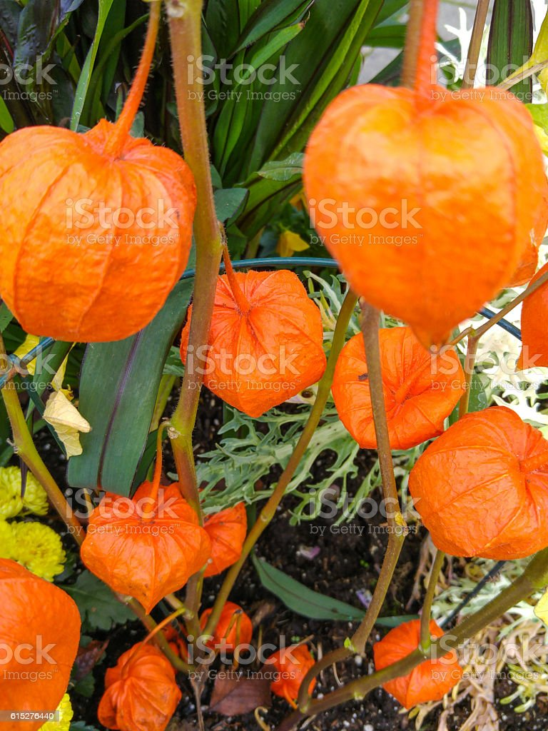 Orange Japanese lantern flowers growing in the garden stock photo