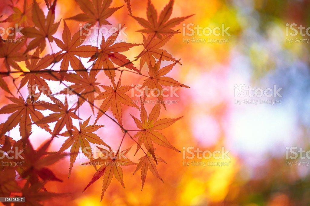 Orange Japanese Maple royalty-free stock photo