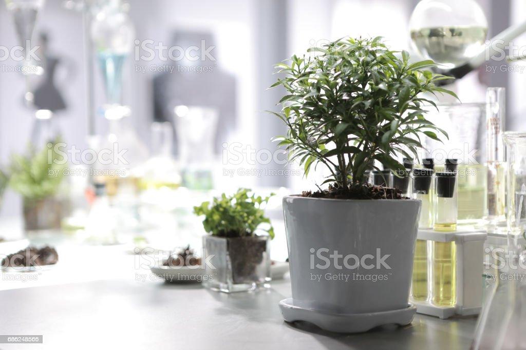 Orange Jasmine bonsai stock photo