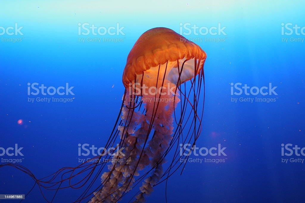 Orange jellyfish in Hong Kong royalty-free stock photo
