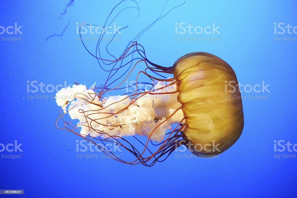 Orange jellyfish (Chrysaora fuscescens) stock photo