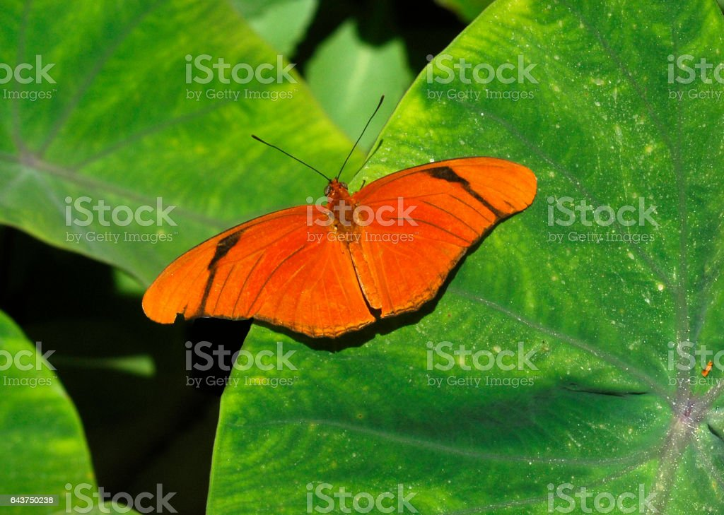 Orange Julia Butterfly on the Leaf of a Banana Plant stock photo