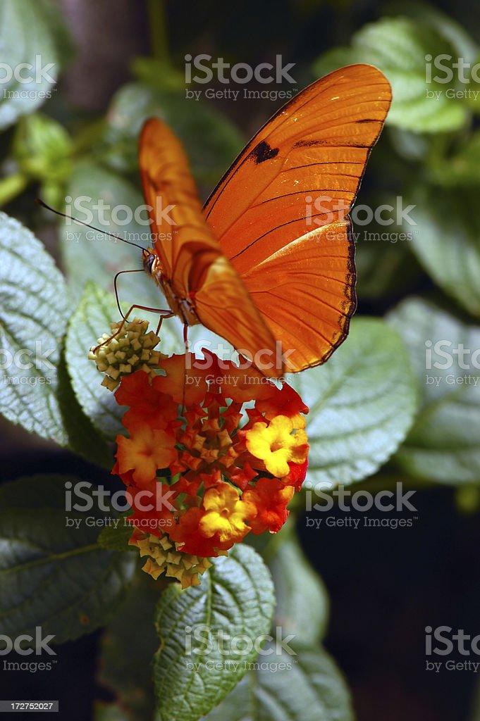 Orange Julia On Matching Flowers stock photo
