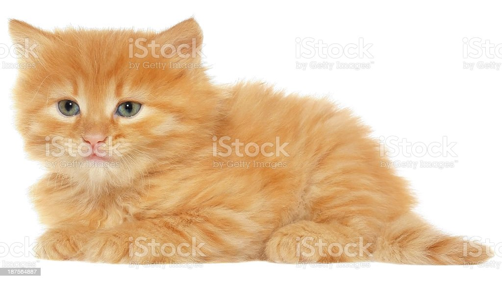 Orange kitten lays on a side view isolated stock photo