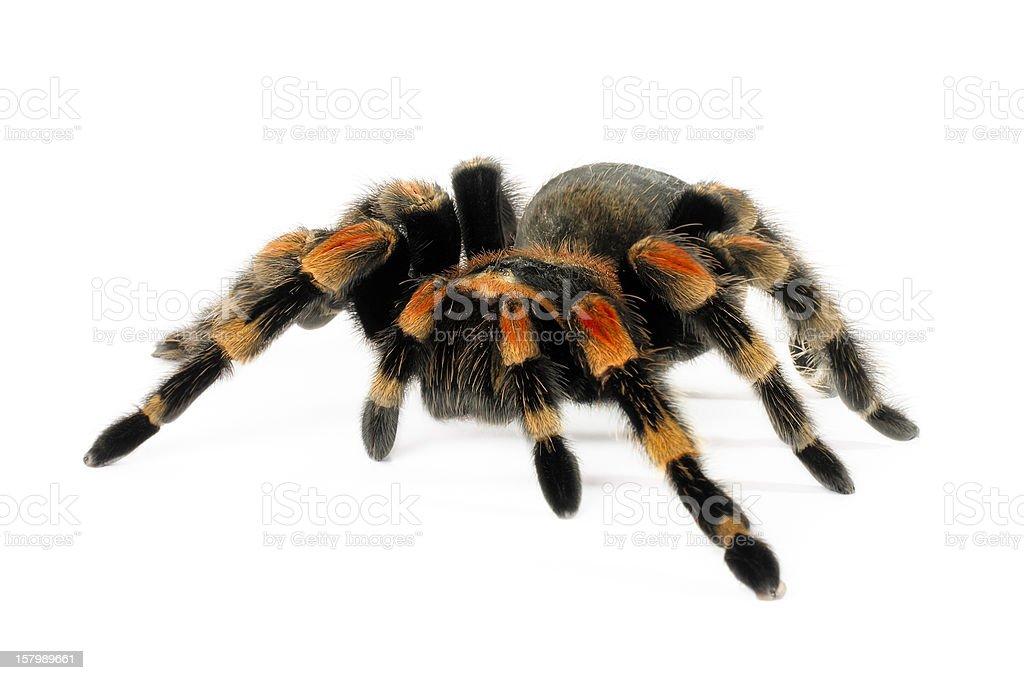 Orange Knee Tarantula stock photo