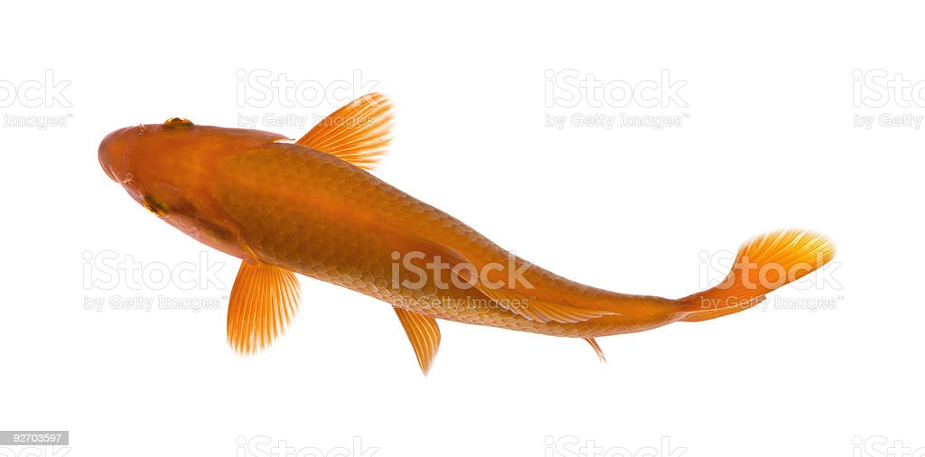 Orange koi fish, Cyprinus Carpio, studio shot stock photo