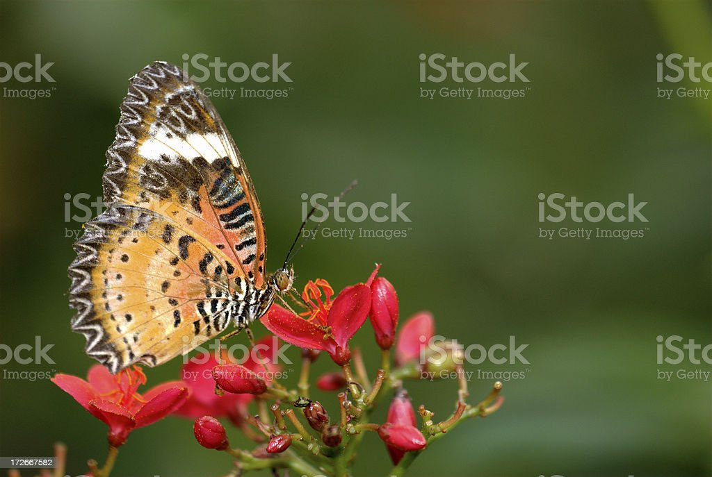 Orange Lacewing (Cethosia methypsea) of Thailand royalty-free stock photo