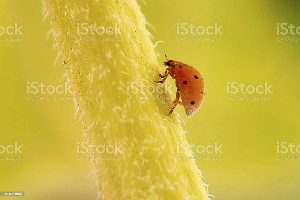 Orange Ladybird on stalk of a flower royalty-free stock photo