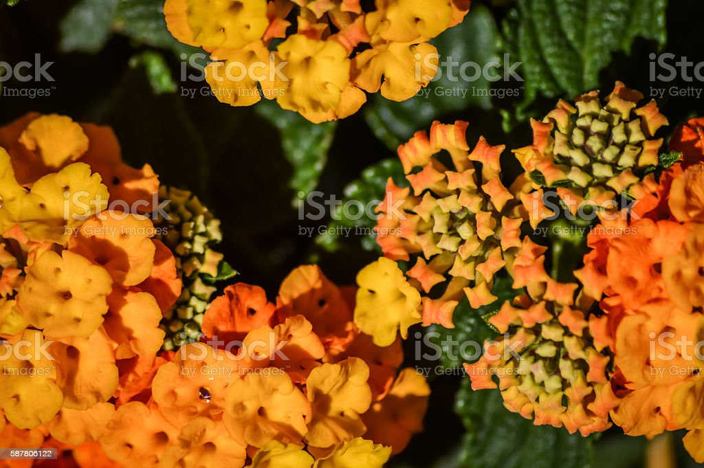 Orange Lantana flowers and buds stock photo