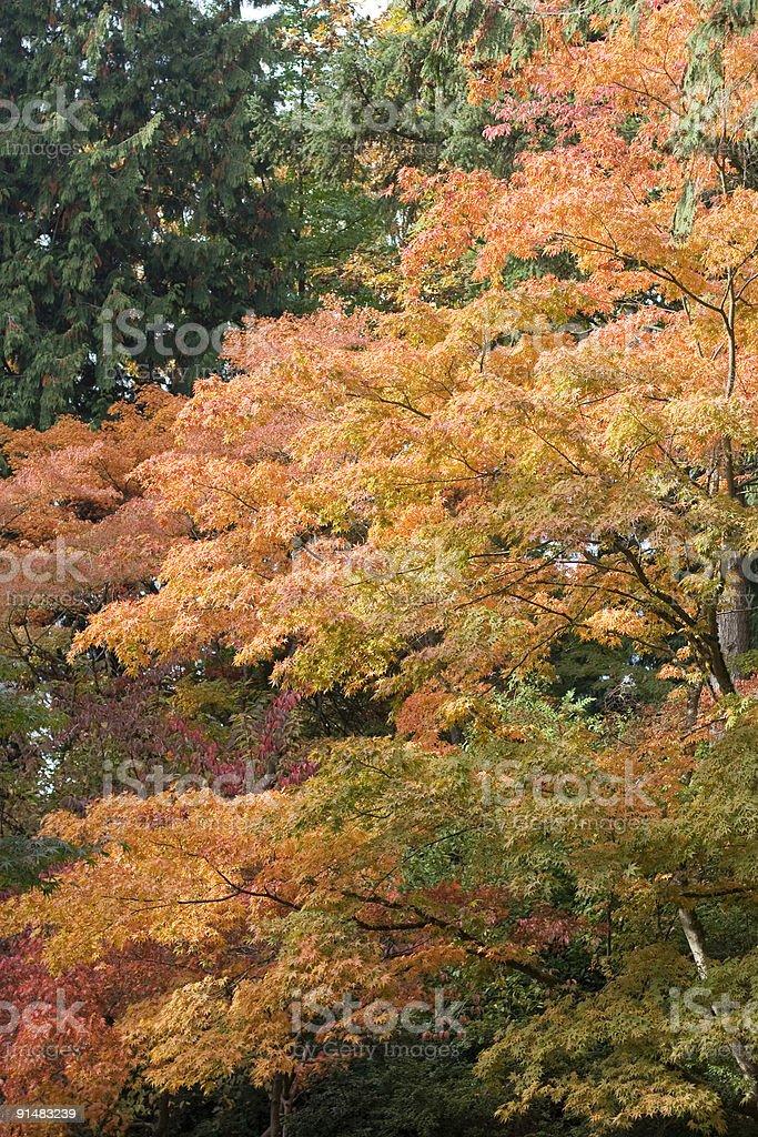 Orange leaves against evergreens stock photo